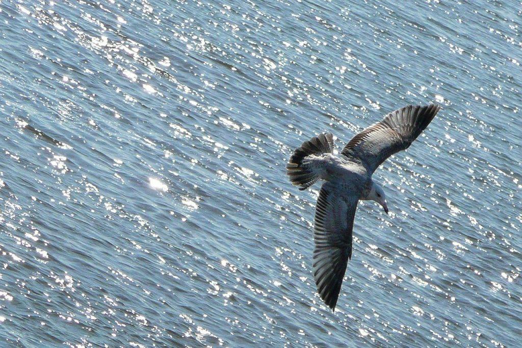 Γλάρος που πετάει πάνω από το πλοίο για Σαμοθράκη